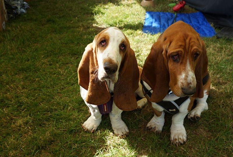Quex Park 2019 basset hounds
